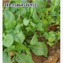 芝麻菜种子 大叶芝麻菜 芝麻香菜 野菜种子 保健蔬菜