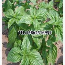 檸檬羅勒 甜羅勒種子 九層塔食用香料香草花種子盆栽易種