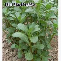 大葉馬齒莧 馬齒莧種子 長壽菜 野生特菜 直立馬齒莧 馬齒莧、 長命菜