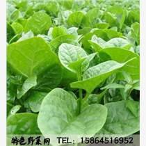 大葉木耳菜 蔬菜種子 陽臺種菜 圓葉 豆腐菜 炒食或做湯