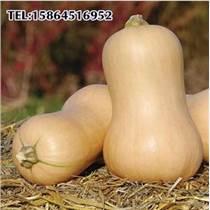 奶油南瓜种子 奶油南瓜种子 庭院菜园易种蔬菜种子 奶油清香味