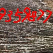 皂角苗  大刺皂角苗種植戶走訪記錄