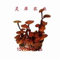 求购灵芝盆景 灵芝盆景种?#19981;?#22320; 灵犀农业