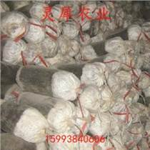灵芝菌种厂家 盆景灵芝菌种厂家 灵犀农业