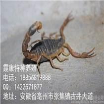 啟東土元養殖蝎子養殖
