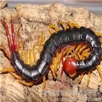 海安土元養殖蜈蚣