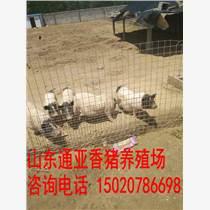 武平县巴马香猪养殖、