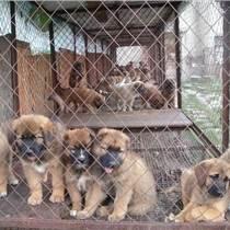 畜牧犬價格狼青犬優惠促銷