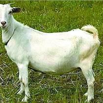 小尾寒羊的圈養技術
