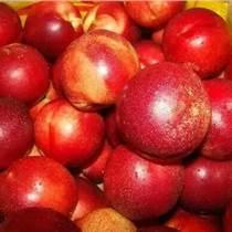 油桃批发价格,油桃产地 山东油桃基地