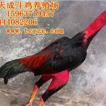 辽宁哪里卖纯种越南斗鸡苗?