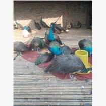 孔雀幼苗哪里卖的便宜