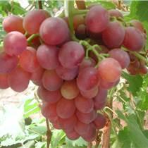 河北高產葡萄樹苗價格低廉,葡萄樹苗批發,葡萄樹苗基地