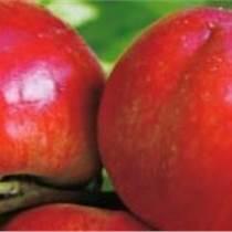 山东油桃批发价格油桃种植基地
