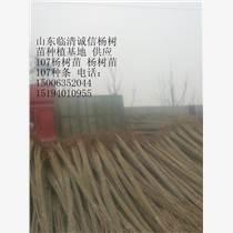 供應107楊樹苗,107速生楊,楊樹苗插條