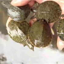 仁寿甲鱼|【华乙甲鱼】|仁寿甲鱼多少钱一斤