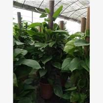 觀賞綠植盆景花卉出售出租養護,綠化苗木