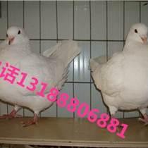 種鴿養殖收購肉鴿