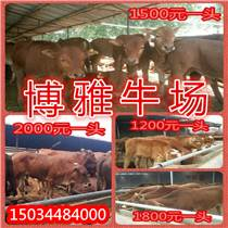 貴州肉牛養殖場