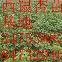 广西银杏小苗、广西银杏小苗、桂林白果苗价格