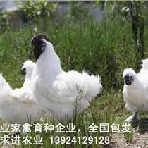 竹丝鸡苗价格行情,种鸡场诚招竹丝鸡苗批发经销商