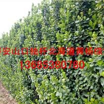 山東北海道黃楊綠籬