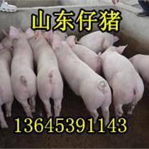 山东仔猪繁育基地三元仔猪价格