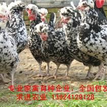 廠家貴婦雞苗價格,國內專業育種公司貴婦雞苗批發