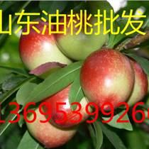 山東油桃大量上市了,批發山東油桃