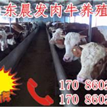 利木贊牛幼牛,肉牛犢選種