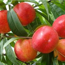 临沂品种:油桃