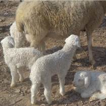 什么地方供应波尔山羊