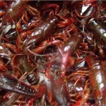 山东淡水龙虾种苗培育基地,现在龙虾苗,虾苗,抱卵虾价格