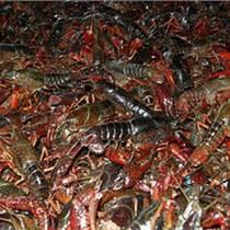 湖南龍蝦苗養殖基地 湖南龍蝦苗多少錢一斤