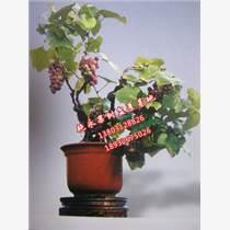 果樹盆景種植批發廠家