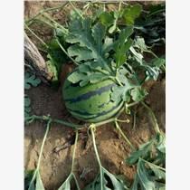 山东西瓜批发价格  西瓜供应基地  哪里有西瓜