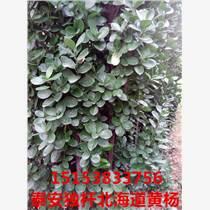 濟南獨桿北海道黃楊綠籬