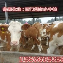 利木贊牛養殖場利木贊牛養殖基地利木贊牛價格