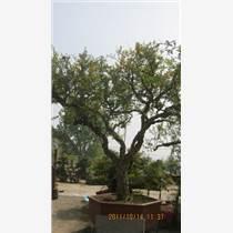 盆栽石榴樹供應,石榴樹盆景批發
