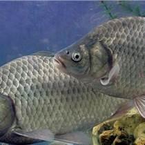 鯉魚批發鯉魚苗價格鯉魚批發價格