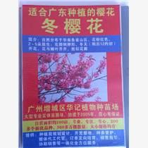 南方熱帶紅櫻花苗