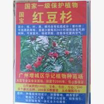 紅豆杉樹苗,南方紅豆杉苗