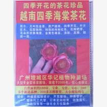 越南四季海棠茶花苗
