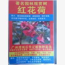 紅花荷種苗