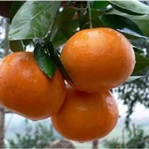 簡陽沃柑苗特點,簡陽沃柑苗種苗