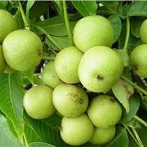 貴州核桃樹苗出售, 貴州核桃樹苗產量,貴州核桃樹苗供應