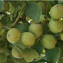 貴州核桃樹苗基地,貴州核桃樹苗供應,貴州核桃樹苗廠家