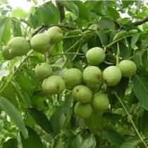 貴州核桃樹苗價格,貴州核桃樹苗基地,貴州核桃樹苗銷售