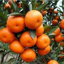 資陽興鷺綿陽香橙苗零售原裝現貨