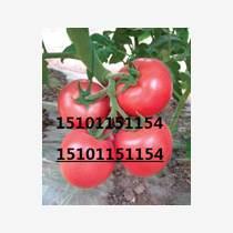 高產大果番茄種子,抗病番茄種了,番茄種子價格